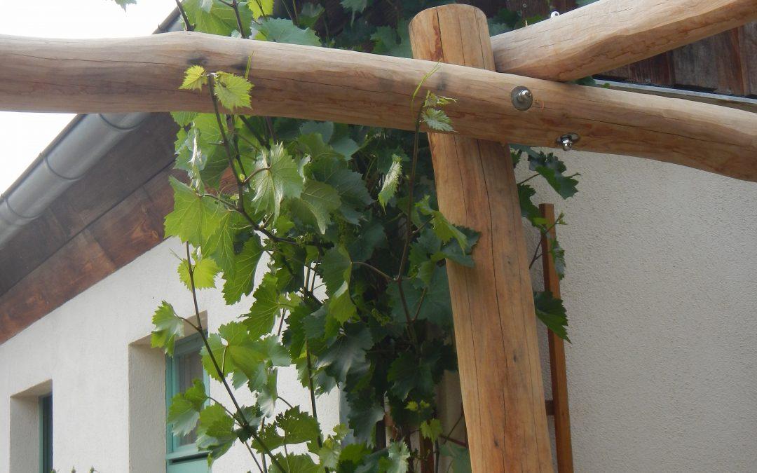 Der schnell wachsende Wein